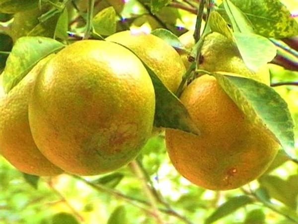 Những loại trái cây cực tốt cho người bị viêm gan B - Ảnh 2