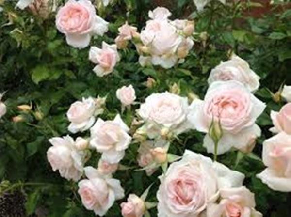 'Thần dược' chữa bệnh vừa rẻ vừa đẹp, dù nhà có chật đến mấy bạn cũng phải trồng 1 chậu - Ảnh 1