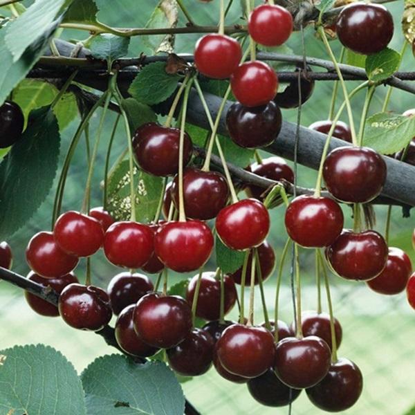 Những loại quả chín mọng như cherry tốt cho bà bầu.