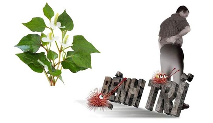 Rau diếp cá là một loại thảo dược tốt chữa bệnh trĩ.