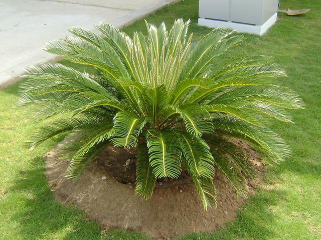 Những cây có hại cho sức khỏe nhưng nhiều người thích trồng, biết để ngừa kẻo 'rước họa' - Ảnh 6