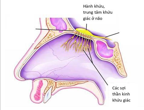 Mất mùi đột ngột: có thể là triệu chứng duy nhất ở bệnh nhân COVID-19 - Ảnh 1