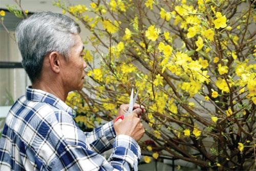 Tỉa cành để cây mai nhanh mọc cành non mới