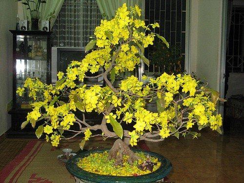 Cây mai trồng chậu để trong nhà cần một thời gian hồi cây so với cây mai để ngoài trời
