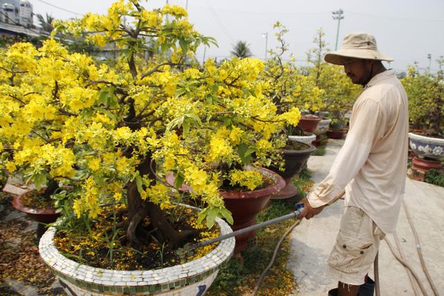 Tiến hành bón phân, tưới nước cho cây mai đầy đủ