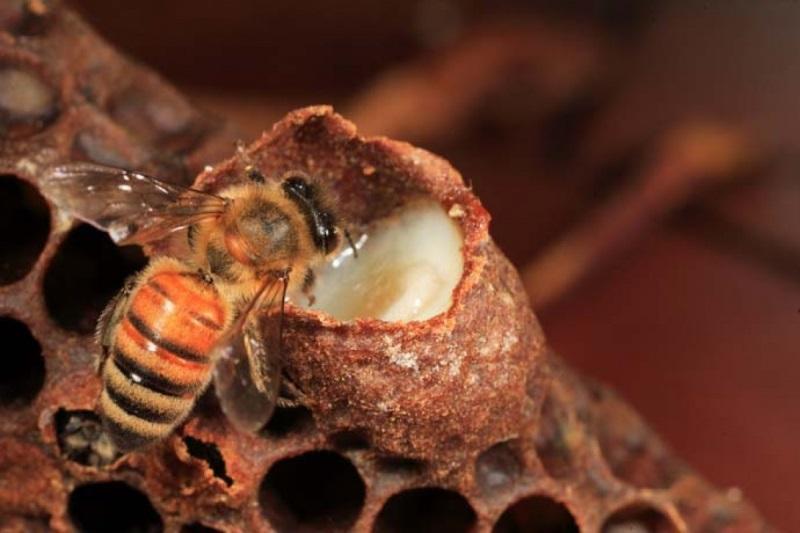 Cách chăm sóc da mặt bằng sữa ong chúa dưỡng da đẹp tự nhiên, căng mịn