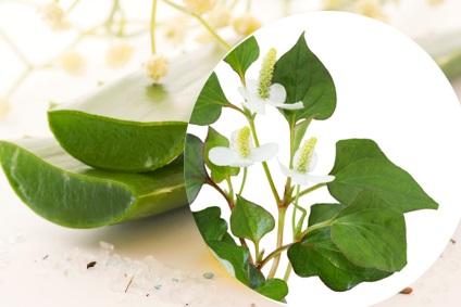 Cách làm trắng da hiệu quả với rau diếp cá và nha đam