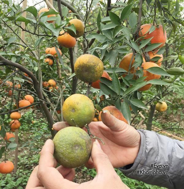 Cách phân biệt cam Canh chuẩn với cam Canh Trung Quốc - Ảnh 4