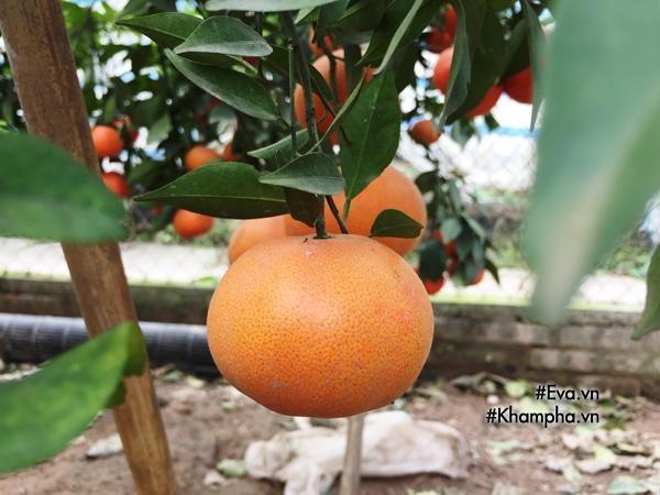 Cách phân biệt cam Canh chuẩn với cam Canh Trung Quốc - Ảnh 7