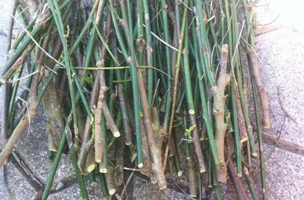 Cách trồng rau ngót trong thùng xốp cực đơn giản, rau xanh mơn mởn hái mỏi tay không hết - Ảnh 2