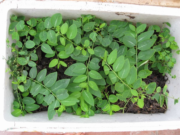Cách trồng rau ngót trong thùng xốp cực đơn giản, rau xanh mơn mởn hái mỏi tay không hết - Ảnh 5