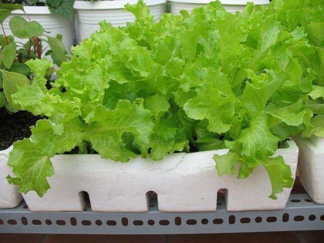 Cách trồng rau xà lách trong thùng xốp cực nhanh, ăn quanh năm không hết - Ảnh 4