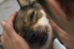 Clip: Ám ảnh với ánh mắt chú chó lúc hấp hối vì bị đập vỡ hộp sọ để giết thịt