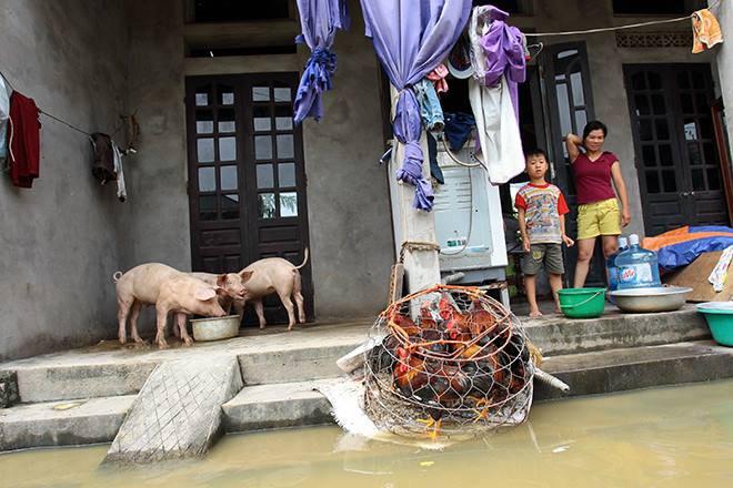 Cận cảnh cuộc sống 'người lợn chung nhà' của người dân Hà Nội sau vỡ đê Chương Mỹ - Ảnh 1