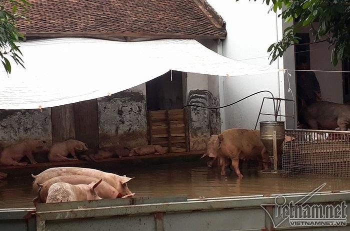 Cận cảnh cuộc sống 'người lợn chung nhà' của người dân Hà Nội sau vỡ đê Chương Mỹ - Ảnh 7
