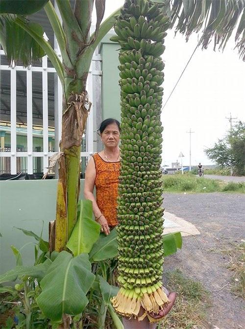 Lạ lùng những <a target='_blank' href='https://www.phunuvagiadinh.vn/cay-chuoi-tram-nai.topic'>cây chuối trăm nải</a> ở Bình Thuận