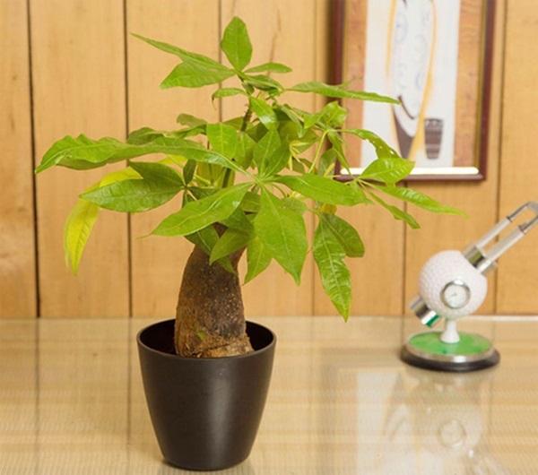 Điểm danh những loại cây đem may mắn, tài lộc vào nhà - Ảnh 2