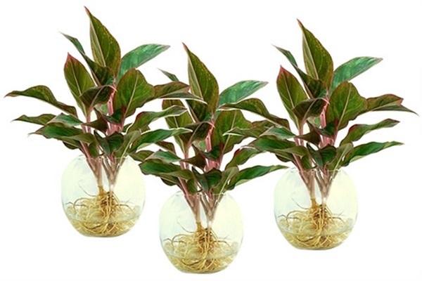 Điểm danh những loại cây đem may mắn, tài lộc vào nhà - Ảnh 3