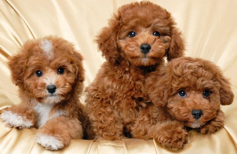 Chú Gióng – Trang rao vặt bán chó Poodle chất lượng nhất - Ảnh 1