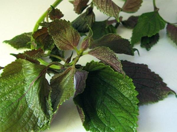 Tía tô - loại rau quen thuộc có công dụng chữa bách bệnh