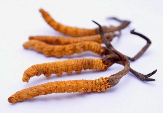 Đông trùng hạ thảo tự nhiên: Mua hàng trăm triệu nhưng nhiều người sử dụng sai (Kỳ 3) - Ảnh 2