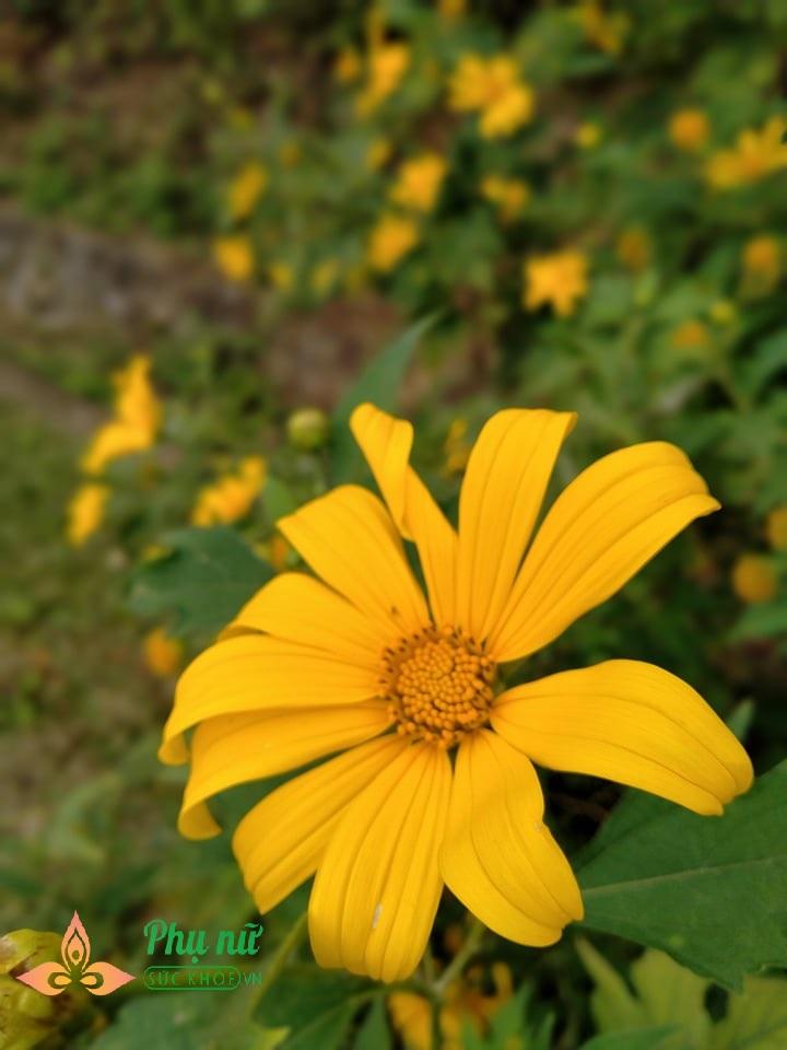 Hoa dã quỳ nở vàng rực sườn núi Ba Vì, giới trẻ nô nức lên 'sống ảo' khiến giao thông kẹt cứng - Ảnh 1