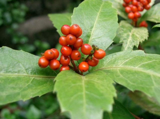 Loài cây mọc hoang ở bìa rừng nhưng lại rất tốt giúp chữa bệnh gút - Ảnh 2