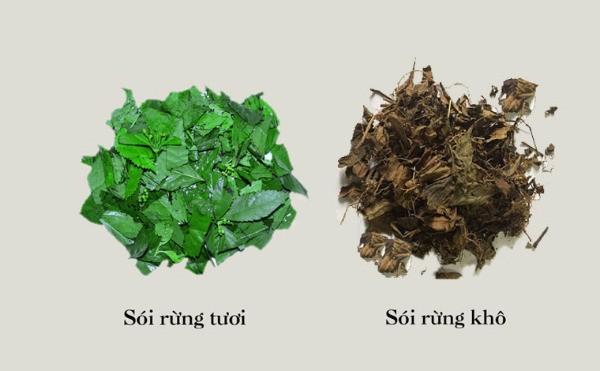 Loài cây mọc hoang ở bìa rừng nhưng lại rất tốt giúp chữa bệnh gút - Ảnh 3