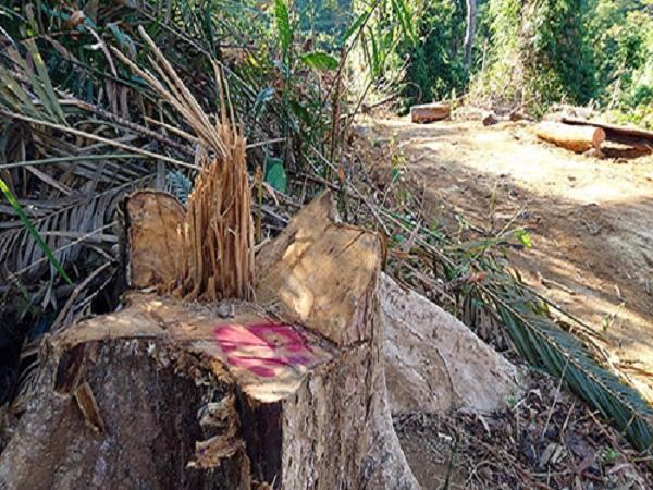 Chặt trái phép hơn 50 cây, giám đốc bị bắt - Ảnh 1