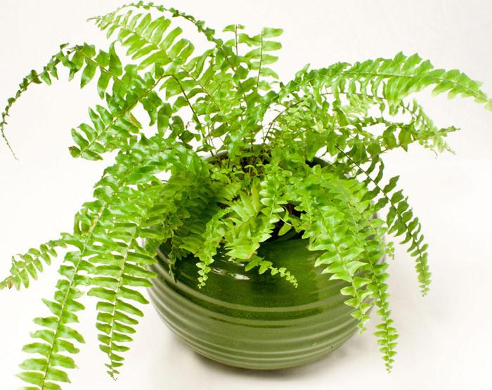 Cây dương xỉ giúp loại bỏ formaldehyde.