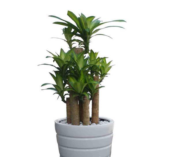 Cách chăm sóc cây phát tài trồng trong nhà giúp  mang đến thêm tài lộc