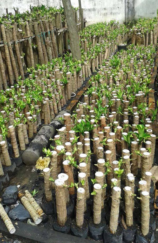 Nếu biết cách chăm sóc, duy trì nước thì cành sẽ nhanh mọc rễ hơn sau khoảng hai tuần
