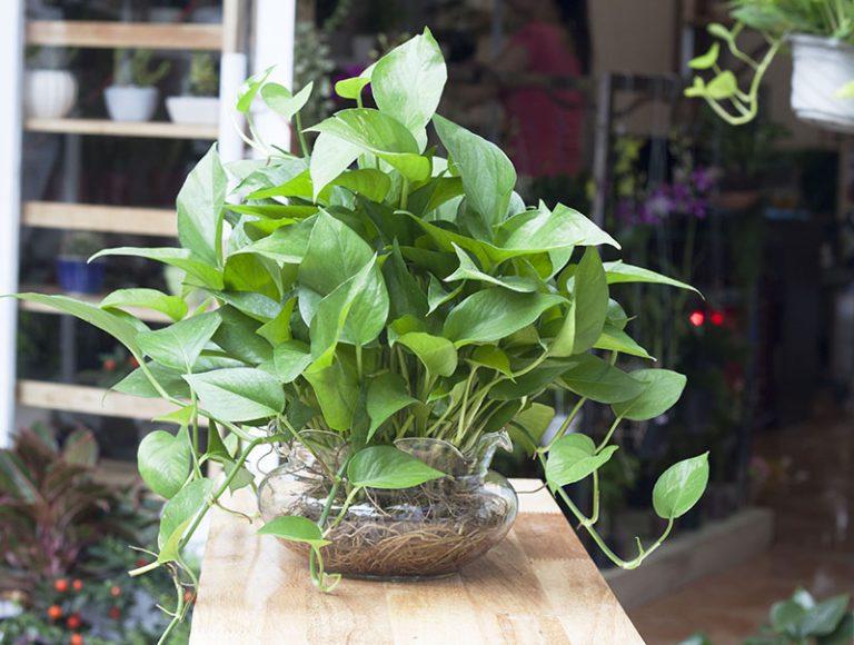 Cây Trầu Bà là loại cây ưa bóng râm, phù hợp với cường độ ánh sáng trung bình