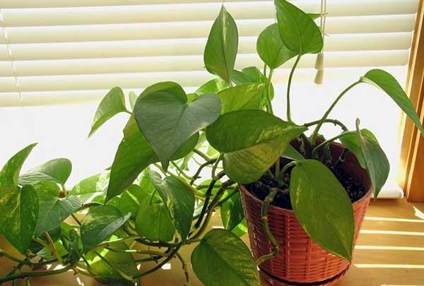 Cách chăm sóc cây trầu bà trồng trong nhà cho lá xanh tươi, rễ mọc đều