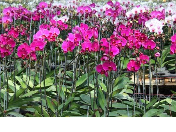 Lan Hồ Điệp là giống lan có hoa lâu tàn nhất và được người chơi cây cảnh ưa thích, trồng rộng rãi