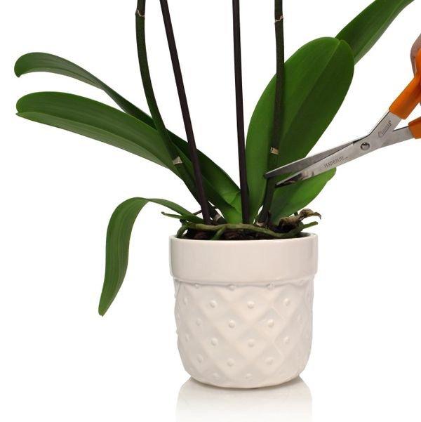 Dùng kéo cắt bỏ ngồng hoa, cách mắt ngủ cuối cùng trên cần hoa khoảng 3 cm