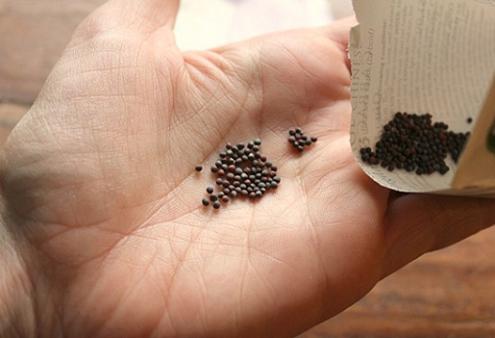 Chuẩn bị hạt giống để trồng cây rau bắp cải