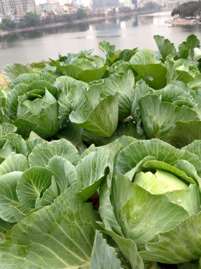 """Bắp cải là """"thần dược"""" có hiệu quả chống suy nhược thần kinh, giảm đau nhức, phòng chống ung thư và các bệnh tim mạch"""