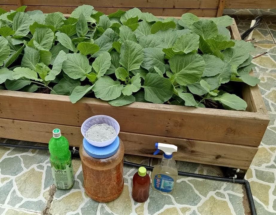 Muốn thu được cây bắp cải có cuốn bắp, chắc khỏe, chống chịu được sâu bệnh thì cần chú trọng việc bón phân đầy đủ cho cây