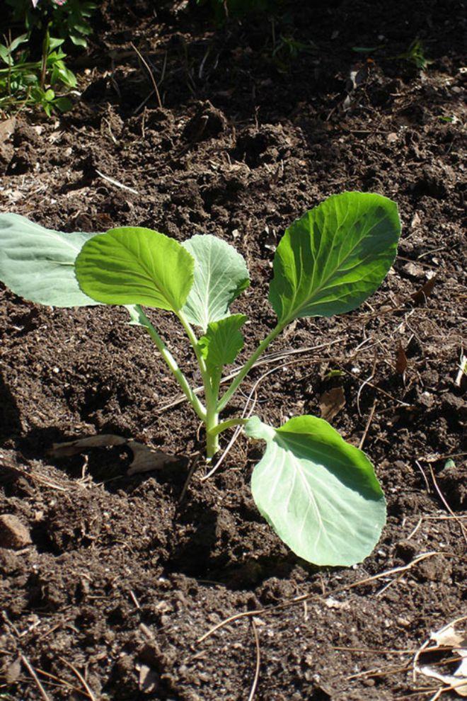 Đến tuần thứ 2, 3, cây con bắt đầu ra khoảng 4 - 6 lá thật