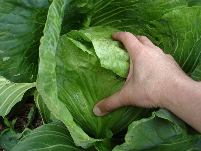 Bắp cải cuộn chặt,  xanh tươi mơn mởn, không bị sâu bệnh