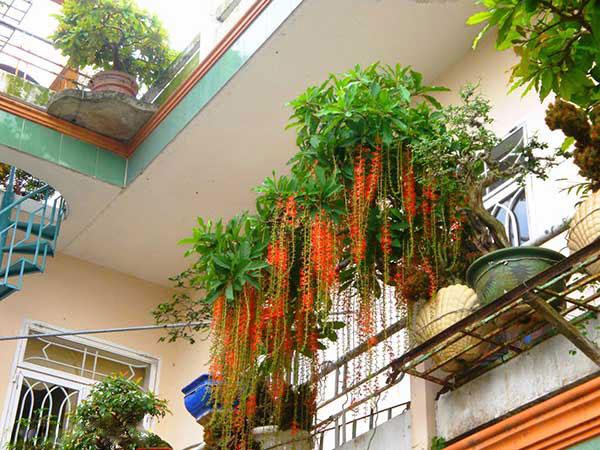 Cây Lộc Vừng  là loại cây cảnh có dáng đẹp và mang ý nghĩa may mắn, tài lộc cho gia chủ