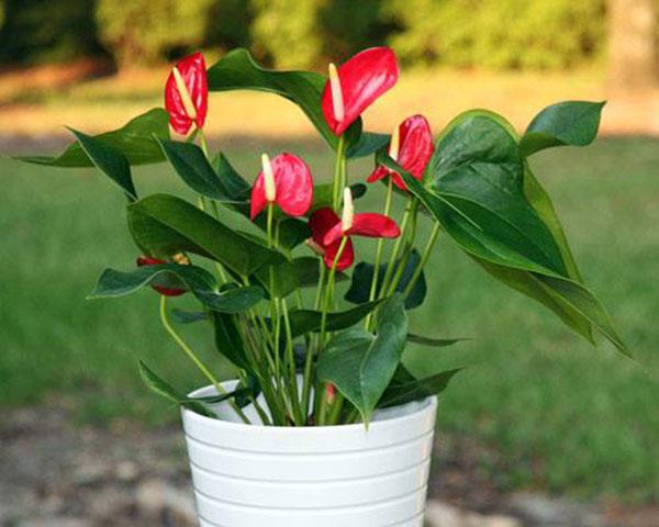Mỗi chậu Hồng Môn đều có hoa, lá hình trái tim thể hiện tình yêu, phúc lộc, may mắn đến chủ nhà