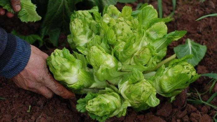 Cách trồng rau mầm đá đơn giản, dễ trồng, dễ chăm sóc