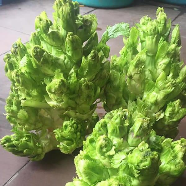 Hiện nay, rau mầm đá không chỉ được trồng ở các vùng núi cao mà đã được thuần hóa để dễ dàng trồng ở nhiều khu vực