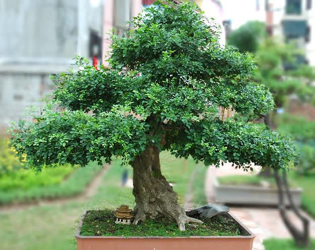 Nguyệt quế là loài cây đại diện cho Ma Kết