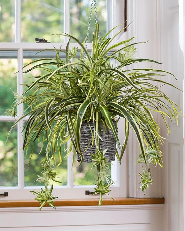 Cây dây nhện là loài cây phong thủy tượng trưng cho trí tuệ và sự mẫn cảm