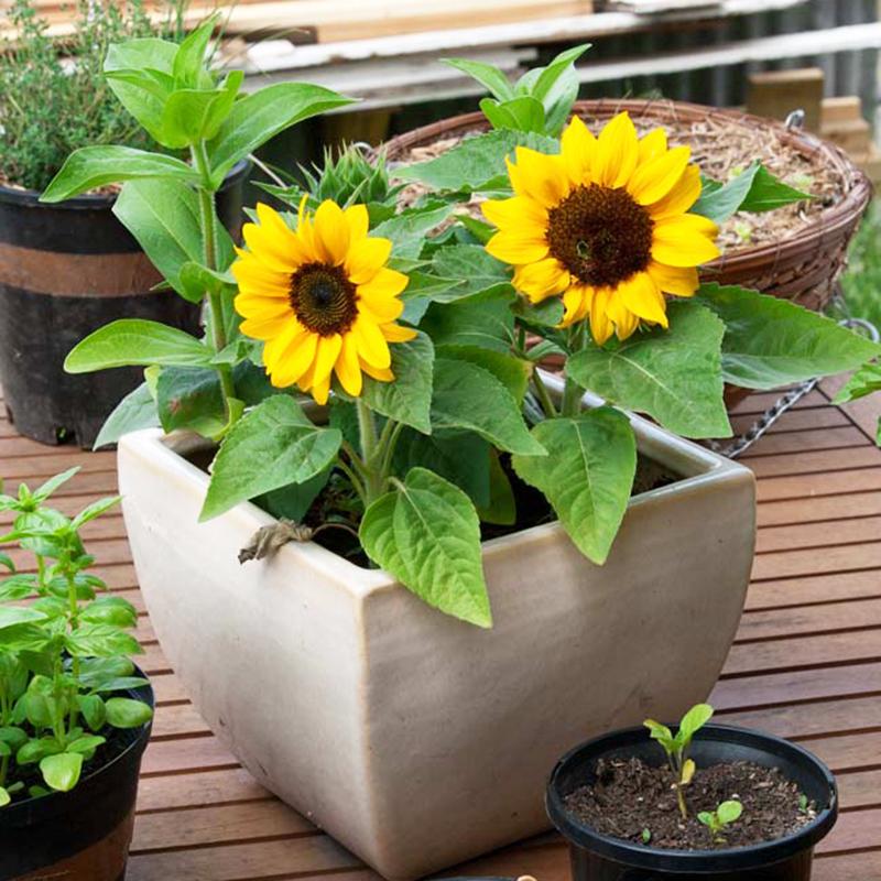 Người ở cung Sư Tử thích hợp để trồng hoa hướng dương hay cúc La Mã