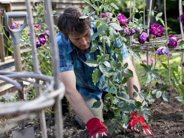 Sau khi ươm, hoa hồng leo Pháp có thể mang ra đất vườn trồng luôn