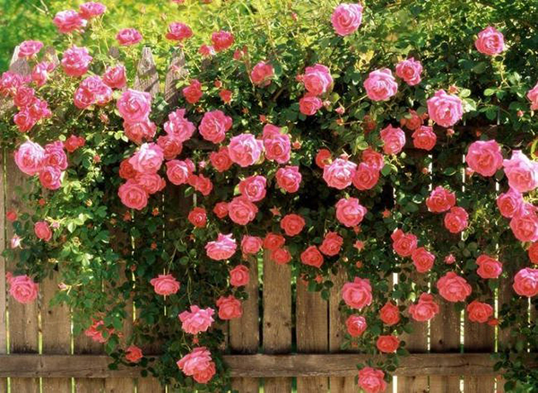 Hoa hồng leo Pháp thích hợp trồng ở nơi nhiều ánh sáng